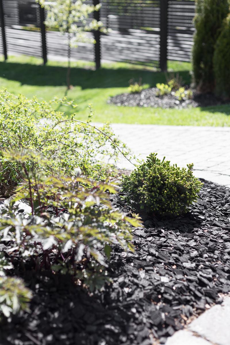 musta koristekate, puutarhakierros, siilikuusi