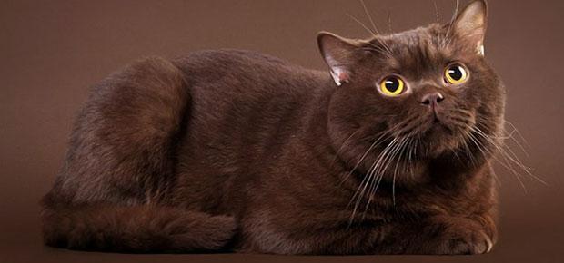 chaton persan a donner
