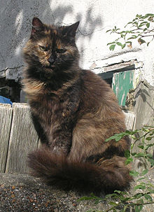 maine coon a donner