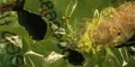 larva plastica