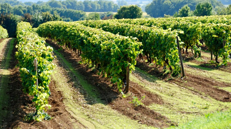 Grape Vines in a Vineyard near Cognac