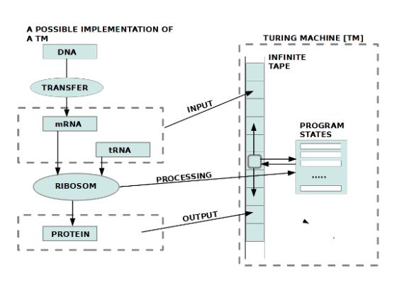 Bild 8: Struktur der biologischen Reproduktion in 1-zu-1 Isomorphie zur Struktur eines Automaten (Turingmaschine)