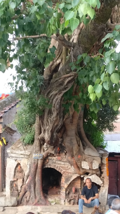 Peepal tree at Durbar Square