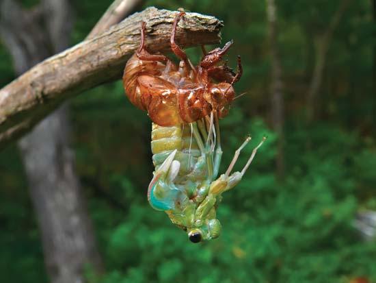 inseto do Japão Cicada