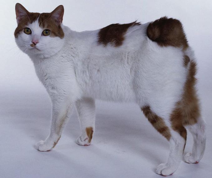 gato japonês Bobtail
