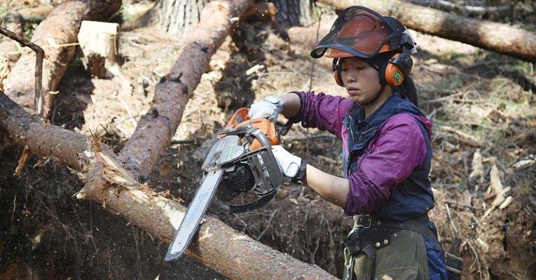 Cortando árvores de cedro