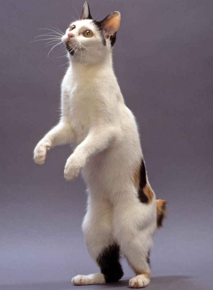 Maneki Neko - Bobtail raça japonesa gato