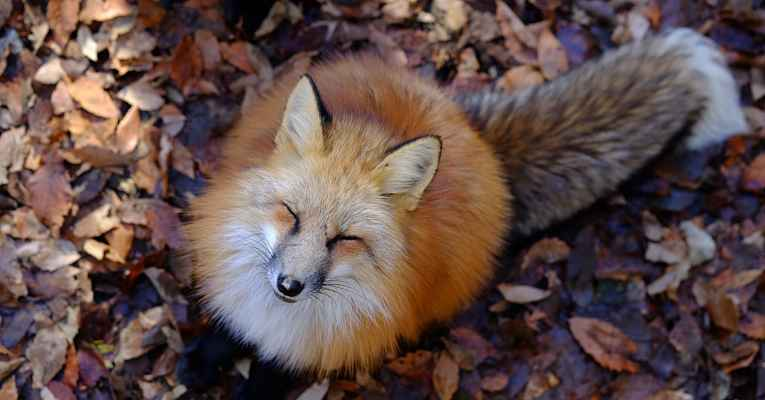Zao Fox Village no Japão