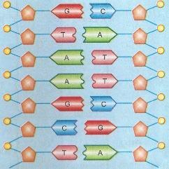 Bases nitrogenadas do código genético
