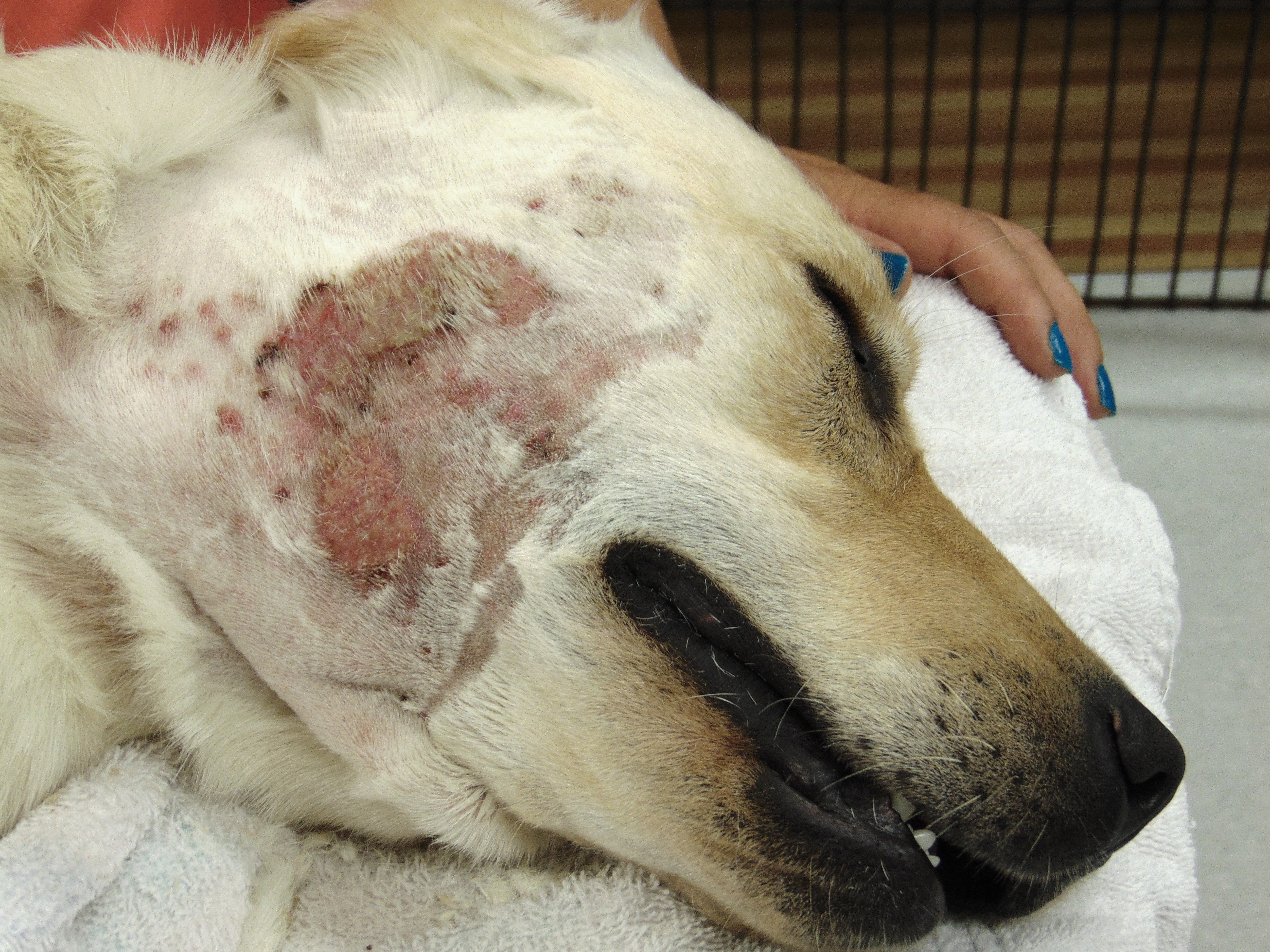 Very Itchy Dog Hot Spots