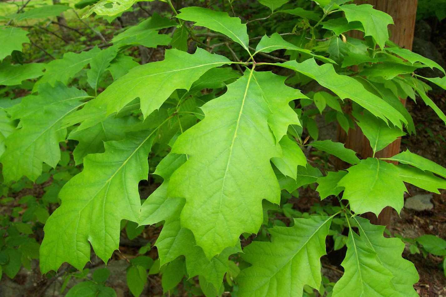 new leaves, quercus alba