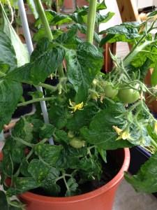 Mature tomato plant