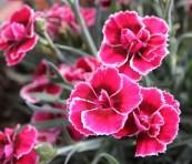 Nellik spiselige blomster