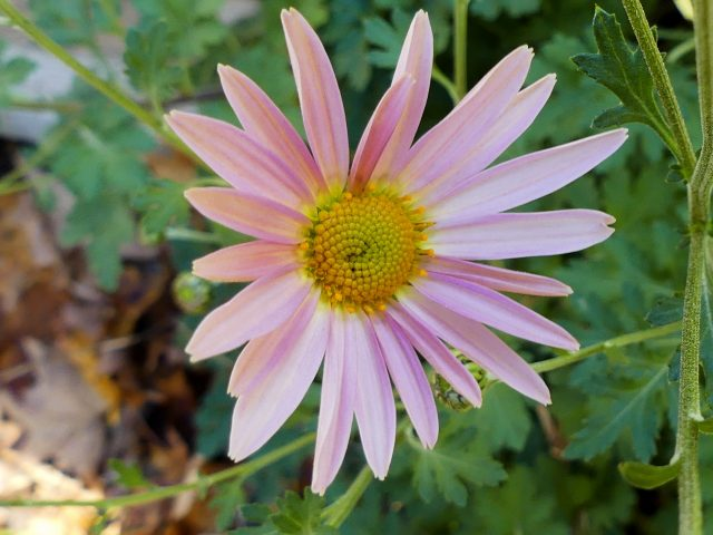Sheffield chrysanthemum