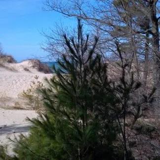 douglas fir tree oregon