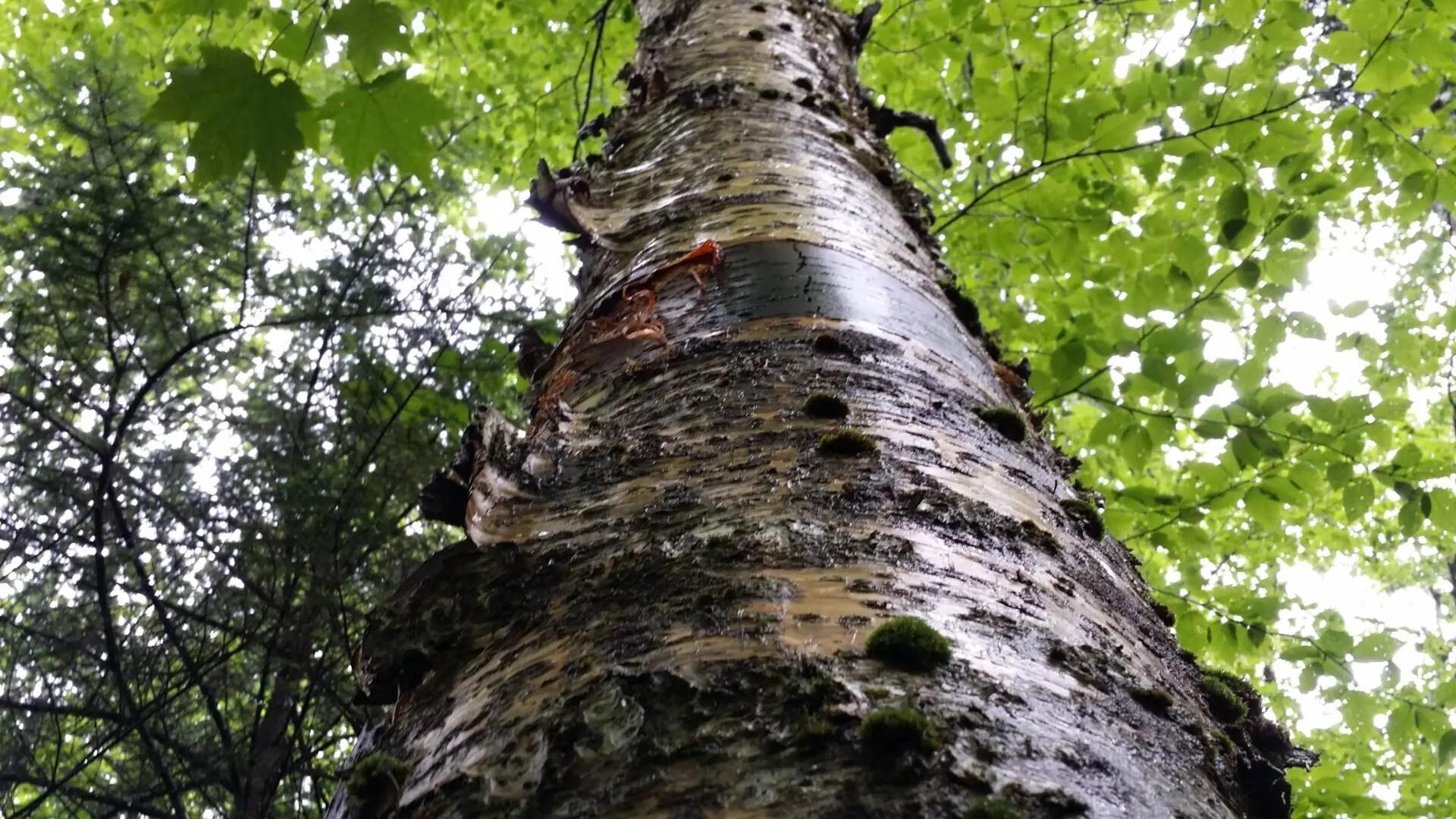 yellow birch betula allegheniensis