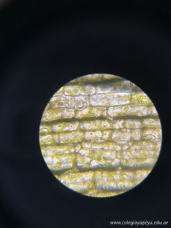 Observacion de Celulas 13