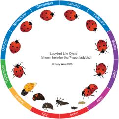 Bird Life Cycle Diagram Ao Smith Century Ac Motor Wiring The Ladybird Uk Beetle Recording Illustrating