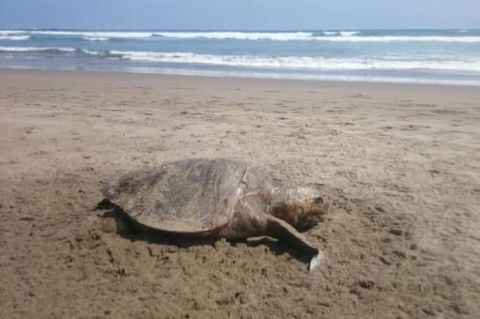 TORTUGA marina 696x463 - En gran porcentaje, la pesca causa muerte de tortugas marinas: bióloga