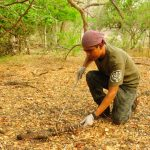 Profepa reintegra un lagarto enchaquirado 150x150 - Profepa reintegra un lagarto enchaquirado y una boa constrictor a su hábitat, en Colima