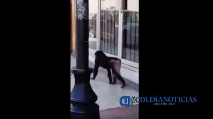 Sorprenden a mono caminando en las calles del centro de Colima en video 696x389 - Sorprenden a mono caminando en las calles del centro de Colima (Video)