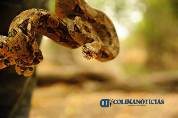 boa en Colima 696x463 - Profepa reintegra un lagarto enchaquirado y una boa constrictor a su hábitat, en Colima