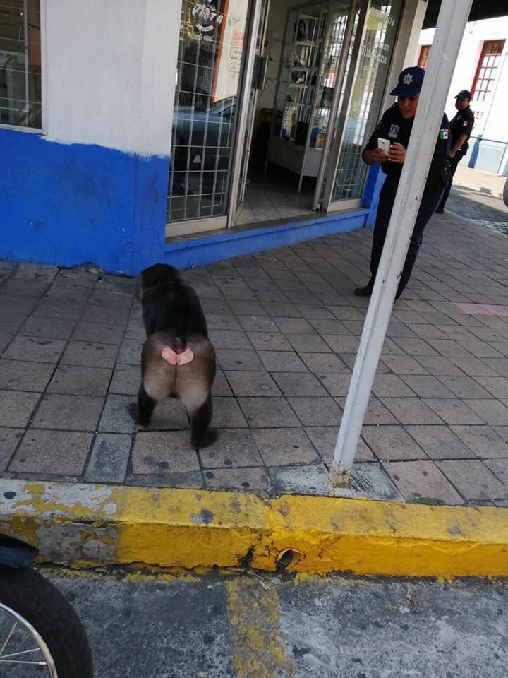 mono caminando en el centro fotos de Fernando Ross 73 - Sorprenden a mono caminando en las calles del centro de Colima (Video)