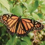 mariposa monarca 150x150 - Presencia de la mariposa monarca en bosques mexicanos se redujo más de la mitad