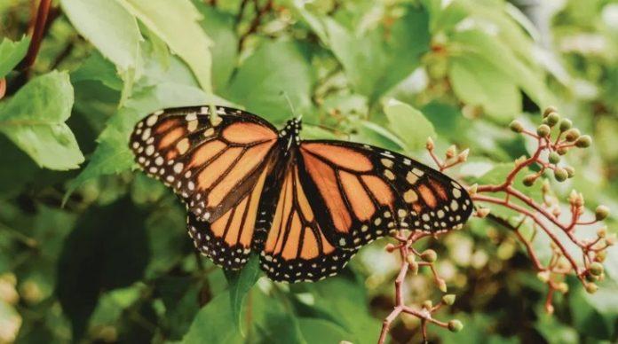mariposa monarca 696x388 - Presencia de la mariposa monarca en bosques mexicanos se redujo más de la mitad