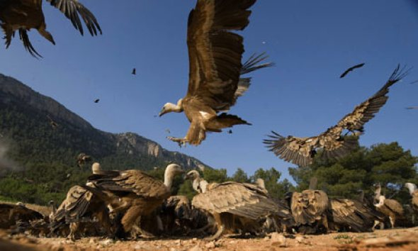 vultures around carrion