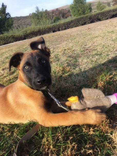 Malinois puppy with toy