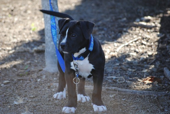 Leashed black and white puppy