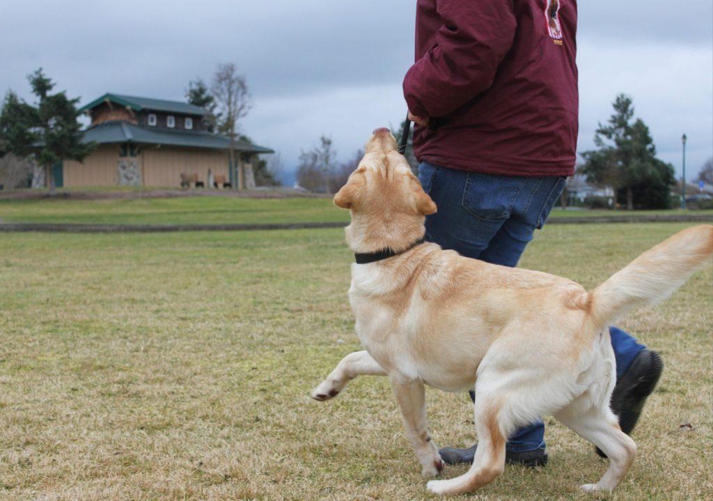 Labrador retriever practicing competitive heeling