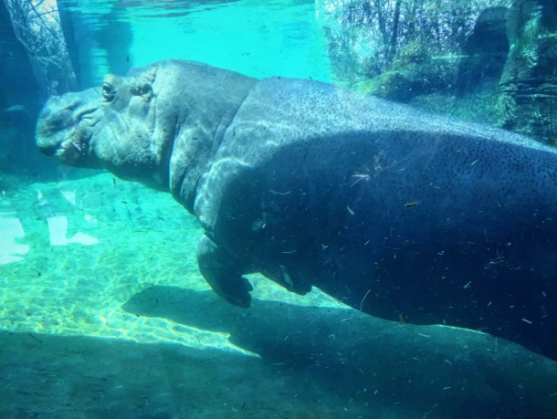 Fiona the Hippo in Cincinnati