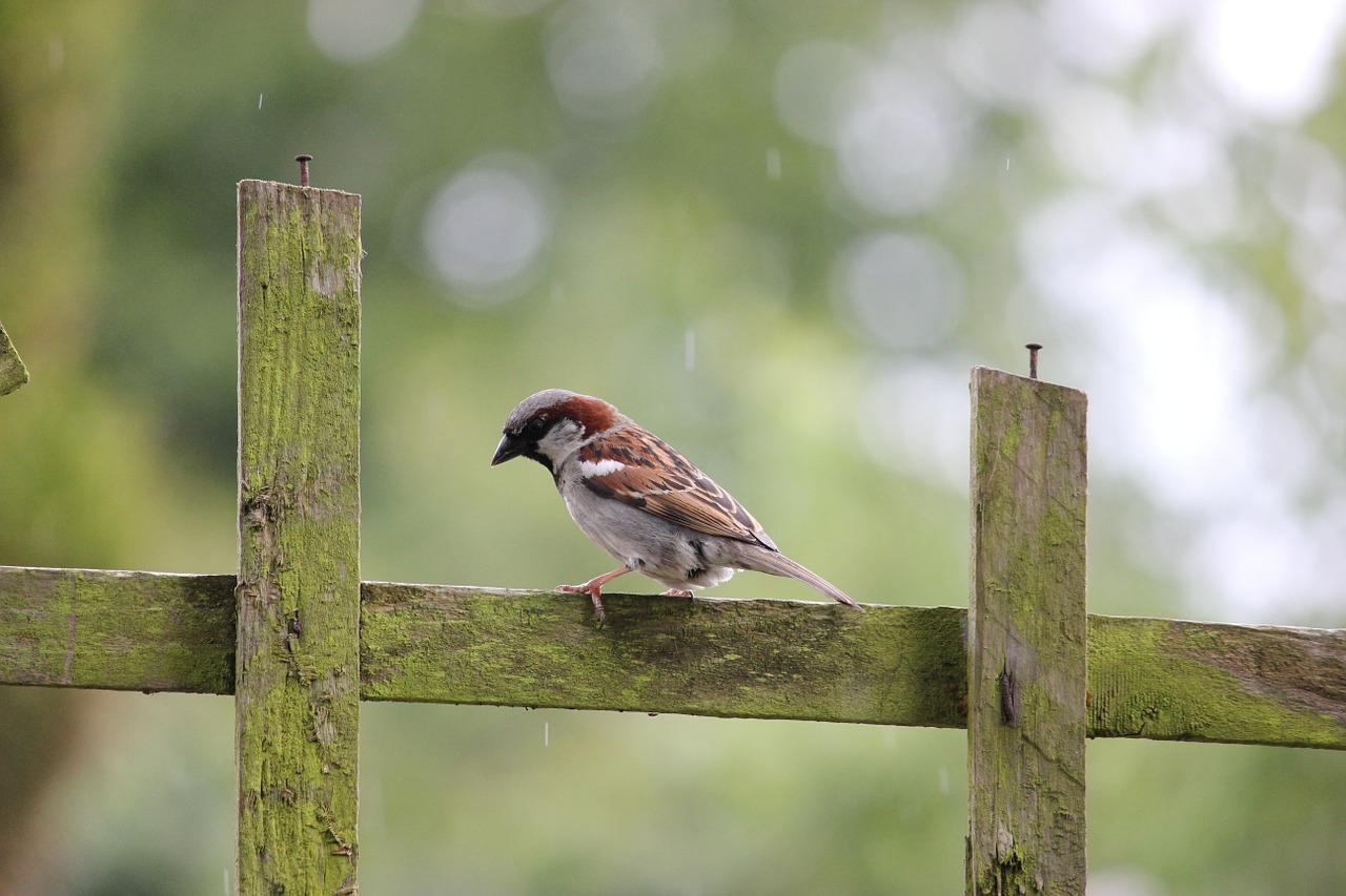 house-sparrow-84647_1280