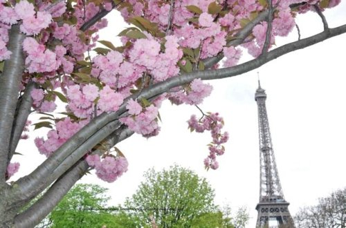 Cherry flowers in the Trocadero Gardens Eiffel Tower in early April