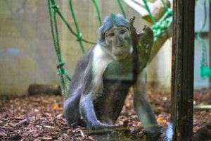 Corumba's family, Mangabey-Old World monkey, Menagerie-Zoo, Jardin des Plantes