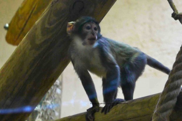 Coumba, Mangabey, perched and ready to play, Jardin des Plantes