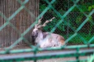 Bharal-Blue Sheep-Menagerie-Zoo-le Jardin des Plantes, Paris