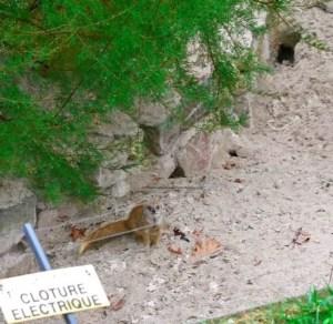 Yellow Mongoose, Jardins des Plantes, zoo-menagerie, Paris