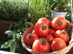 First Tomatoes of the season in May Earl Martinet, producer, Paris, Richard Lenoir/Bastille market
