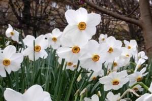 Palais Royal Gardens Narcissus