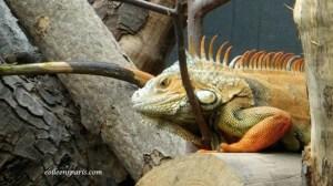 Madagascar iguana at Paris zoo (Parc Zoologique de Paris)