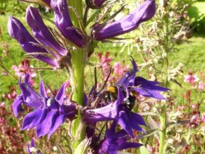 Jardin des Plantes - bee on purple flower