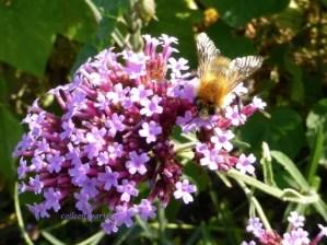 Jardin des Plantes - bee on pink flowers