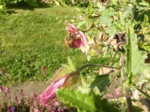 Jardin des Plantes - bee on pink flower