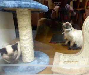Siamese cat with mouse in mouth Cafe des Chats