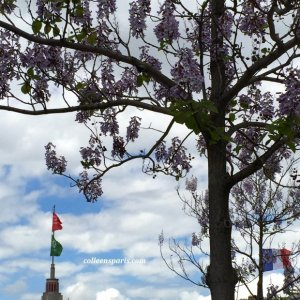 Wisteria blooming is a sure sign of the Spring Foire de Paris