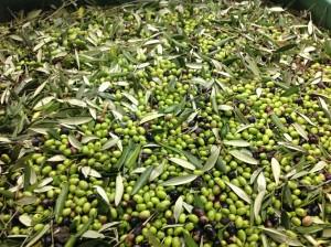 Olive Tenuta Colline di Zenone