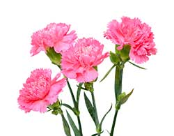 carnation definition and meaning